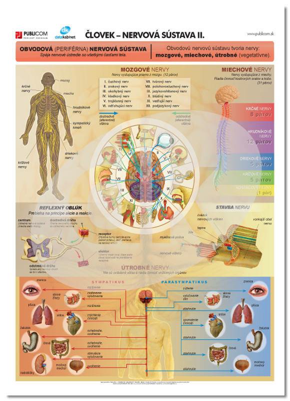 Človek - nervová sústava ii